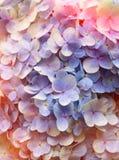 Floral υπόβαθρο Hydrangea Στοκ Φωτογραφίες