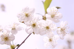 Floral aromatherapy. Seasonal beautiful and perfumed white flowers royalty free stock photos
