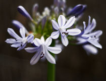 Floral arrangement. Stem of flowers (Agapanthus Royalty Free Stock Photos