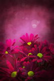 Floral art: PINK DAISES. Royalty Free Stock Photography