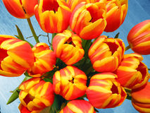 Floral Background. A background of orange and yellow colored tulips Royalty Free Stock Image