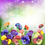 Floral background. Colorful pansies flowers Royalty Free Stock Photography