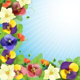 Floral background. Colorful pansies flowers Stock Images