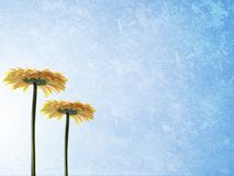 Floral background. Ble grunge background with two yellow gerbers Stock Image
