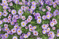 Floral background. From magenta chrysanthemums autumn  flowers. Selective focus, sunny day Stock Photos