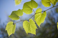 Floral background. Close up of green leaves. Floral background Royalty Free Stock Photo