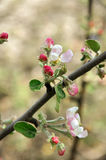 Floral background apple tree brunch with flowers - symbol of new life, renovtion, hope. Apple tree flower blossoming at spring time Royalty Free Stock Images