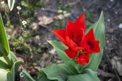 Background of blooming tulips in spring Royalty Free Stock Photos