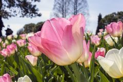 Background of blooming tulips in spring Stock Image