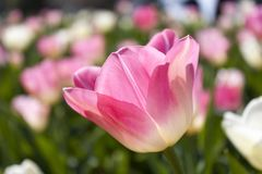 Background of blooming pink tulips in spring Stock Photography