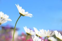 Floral background. Blooming white daisies on a background of a b Royalty Free Stock Photos