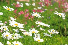 Floral background. Blooming white daisies on a green field on a. Sunny day Stock Photography