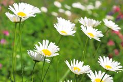 Floral background. Blossoming white daisies on a green field. Floral background. Blooming white daisies on a green field on a sunny day Royalty Free Stock Photo