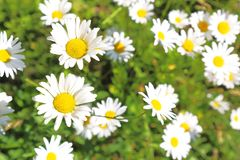 Floral background. Blooming white daisies on a green field in a. Sunny summer day Royalty Free Stock Photos
