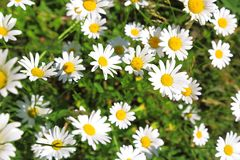 Floral background. Blooming white daisies on a green field in a. Sunny summer day Stock Photography