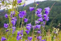 Floral background with bluebells Royalty Free Stock Image