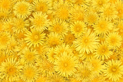 floral background of bright yellow dandelions Royalty Free Stock Images