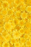 Floral background of bright yellow dandelions Royalty Free Stock Photo