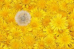 Floral background of bright yellow dandelions Royalty Free Stock Image