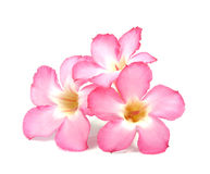 Floral background. Close up of Tropical flower Pink Adenium Stock Images