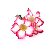 Floral background. Close up of Tropical flower Pink Adenium. Des. Ert rose on isolated white background Royalty Free Stock Photography