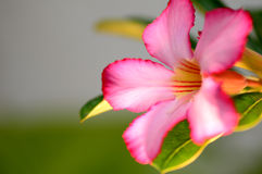 Floral background. Close up of Tropical flower Pink Adenium Royalty Free Stock Photography