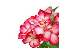 Floral background. Close up of Tropical flower Pink Adenium. Desert rose on isolated white background. Summer, nature. stock image