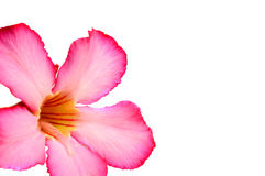 Floral background. Close up of Tropical flower Pink Adenium Royalty Free Stock Photo