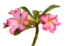 Floral background. Close up of Tropical flower Pink Adenium Stock Photo