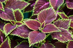 Floral background of Coleus. Stock Photos