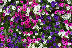 Floral background of colorful petunias Stock Photos
