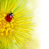 Floral background with a coltsfoot. And ladybug Stock Photography