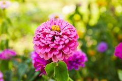 Floral background. Common Zinnia. lowers of Zinnia Zinnia violacea Cav. stock photography