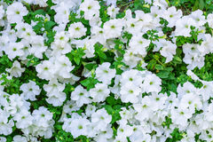 Floral background of copious quantities of white Petunia flowers Stock Photo
