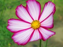 Floral background  -  cosmos flower - summer Stock Photos Stock Image