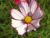 Floral background  -  cosmos flower - summer Stock Photos Royalty Free Stock Photos