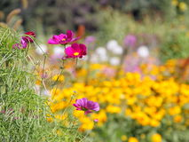 Floral background  -  cosmos flowers - summer Stock Photos Stock Photography
