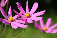 Floral background  -  cosmos flowers - summer Stock Photos Royalty Free Stock Image