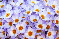 Close up purple and white crocus flowers in full bloom royalty free stock images