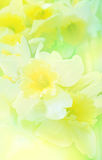 Floral background with  daffodil Royalty Free Stock Image
