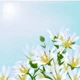 Floral background. Daisies. Floral background. Daisies in front of sky Stock Photo