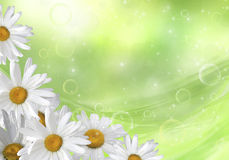 Floral background. Daisies on a green background with bokeh and stars Royalty Free Stock Image