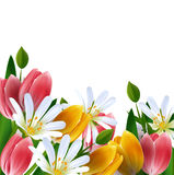 Floral background. Daisies and tulips. Floral background. Daisies and tulips isolated Stock Photography