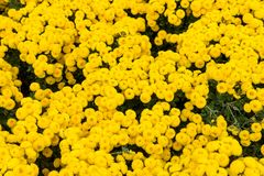 Floral background flower yellow chrysanthemums on the garden bed. Autumn, Russia, Sochi Royalty Free Stock Image