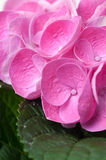 Flowers and petals of pink hydrangea Stock Photo