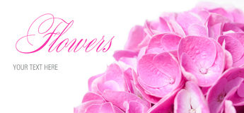 Flowers and petals of pink hydrangea Stock Photos
