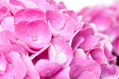 Flowers and petals of pink hydrangea Stock Image
