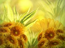 Floral background. Flowers yellow-orange chamomile blossom on a bright sunny day. Greeting card. Nature Royalty Free Stock Image