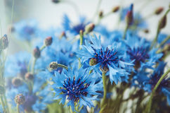 Floral background of fresh blue cornflower flowers  with soft shine. Summer blossom concept. Place for text, copy space. Stock Image