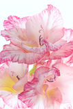 Floral background. Gladioluses close up isolated on white background. Three flowers isolated on white. Pale pink gladioluses close-up Royalty Free Stock Photography